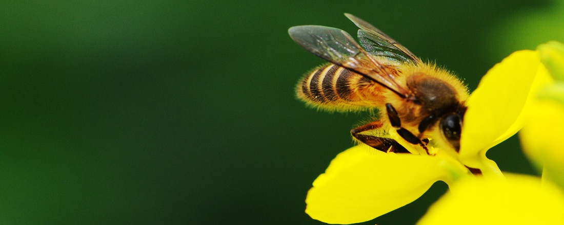 A Bee feeding off a Yellow Flower